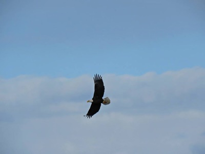Bald Eagle in Flight over Sodus Bay <i>- by Cathy Contant</i>