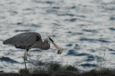 Blue Heron having Dinner <i>- by Cathy Contant</i>