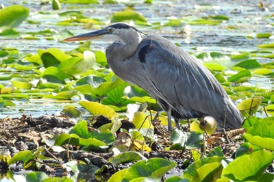 Blue Heron on Sodus Bay <i>- by Cathy Contant</i>