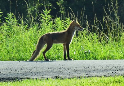 Fox on the way to the Bay <i>- by Cathy Contant</i>