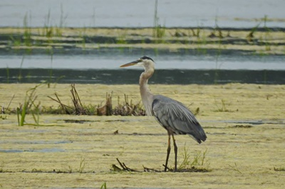 Great Blue Heron on Great Sodus Bay <i>- by Cathy Contant</i>