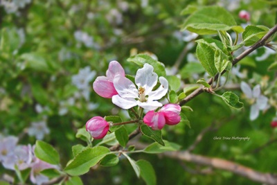May Apple Blossoms <i>- by Chris Trine</i>
