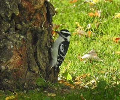 Northern Downy Woodpecker <i>- by Cathy Contant</i>