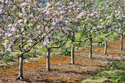 Orchard in Bloom <i>- by Chris Trine</i>